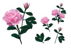 Menchii róży projekta wektor Zdjęcia Stock