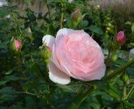Menchii róża z wodnymi kropelkami Zdjęcia Royalty Free