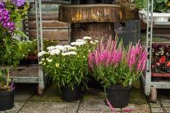 Menchii stokrotki w kwiatu sklepie i kwiaty Obraz Stock