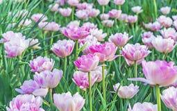 Menchii Terry tulipany Gesner tulipan z Terry formą kwiat fotografia stock
