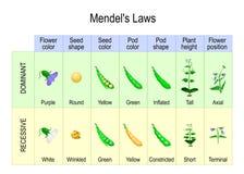 Mendel eksperyment biologiczny dziedziczenie ilustracji