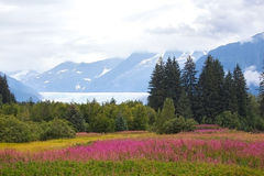 Mendenhall Glacier. Landscape photo of Mendenhall Glacier with fireweed wildflowers in foreground Stock Images