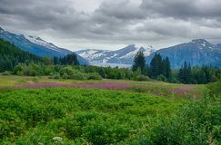 Mendenhall Glacier with Fire Weed Stock Images