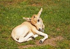 Mendes羚羊 免版税库存照片
