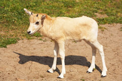 Mendes-антилопа Стоковое Фото