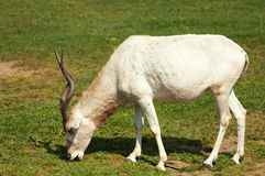 Mendes-Antelope Stock Photography