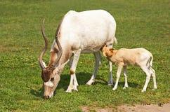Mendes-antilop Royaltyfri Bild
