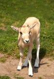 Mendes-antilop Royaltyfri Fotografi
