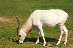 Mendes-antilop Arkivbild