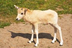 Mendes-Antilope Stockfoto