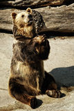 Mendicant bear. Mendicant brown bear in the zoo garden Royalty Free Stock Photo