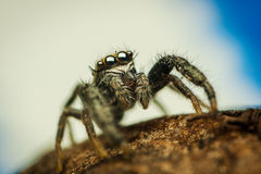 Mendoza canestrinii jumping spider. High magnification of male Mendoza canestrinii jumping spider taken from low perspective Stock Photos