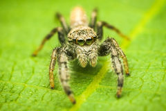 Mendoza canestrinii jumping spider Royalty Free Stock Photography