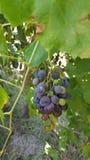 Mendoza la Argentina alvear general del lagar del vino de las uvas Fotografía de archivo libre de regalías