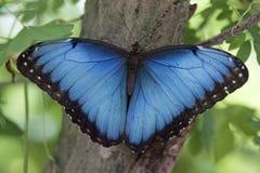 Menelaus бабочки Morpho Стоковая Фотография RF