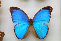 Menelaus Blue Morpho Arkivfoto