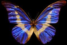 Menelaus Blue Morpho Butterfly arkivfoto