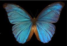 Menelaus Blue Morpho Butterfly Stock Images