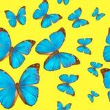Menelaus tropicale di Morpho dei butterflys di struttura senza cuciture su un fondo giallo Immagine Stock