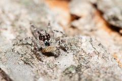 Menemerus bivittatus Skokowy pająk zdjęcie stock