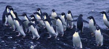 Menge der Adelie-Pinguine Lizenzfreies Stockbild