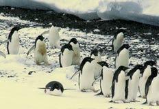 Menge der Adelie-Pinguine Stockbild