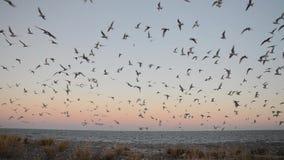 Menge der antarktischen Seeschwalbe - Sterna vittata stock video footage