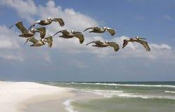 Menge der Brown-Pelikane, die über Florida fliegen, setzen auf den Strand Stockbild