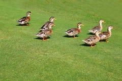 Menge der Enten, die in grünes Gras des Gartens gehen Lizenzfreies Stockbild