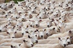 Menge der geschorenen Schafe lizenzfreie stockfotos