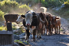 Menge der Kühe Lizenzfreie Stockfotos