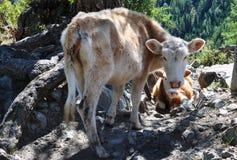 Menge der Kühe stockfotos