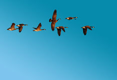 Menge der kanadischen Gänse im Flug Stockbild