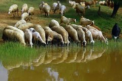 Menge der Schafe Lizenzfreie Stockfotos