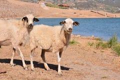 Menge der Schafe lizenzfreie stockbilder