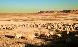 Menge der Schafe Stockfotografie