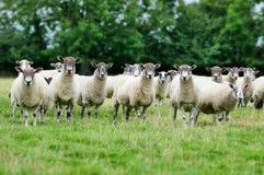 Menge der Schafe. Stockfoto