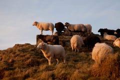 Menge der Schafe Stockfoto