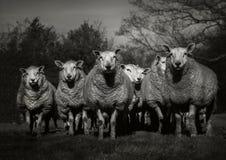 Menge der Schafe Lizenzfreie Stockfotografie