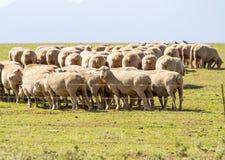 Menge der Schafe Lizenzfreies Stockfoto