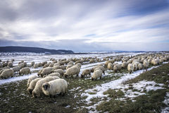 Menge der Schafe Stockbild