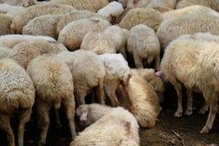 Menge der Schafe stockbilder
