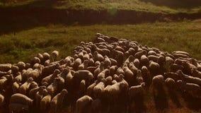 Menge der Schafe stock footage
