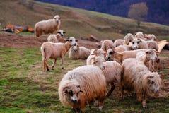 Menge der Schafe auf dem Gebiet Stockbild