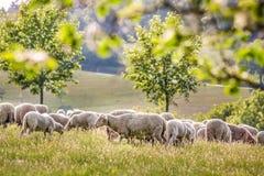 Menge der Schafe in den Taunus Bergen Lizenzfreies Stockbild