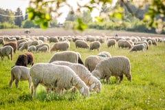 Menge der Schafe in den Taunus Bergen Stockbild