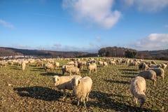Menge der Schafe in den Taunus Bergen Stockfotografie