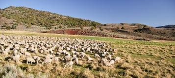 Menge der Schafe in der geöffneten Landschaft bewirtschaften Landschaft Stockfotos