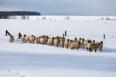 Menge der Schafe im Winter Stockfotos