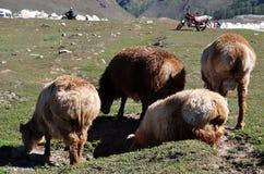 Menge der Schafe oder der Ziegen stockfotos